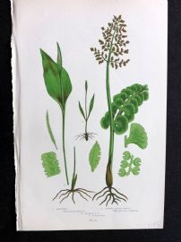 Anne Pratt 1899 Botanical Fern Print. Moonwort. Common Adders Tongue